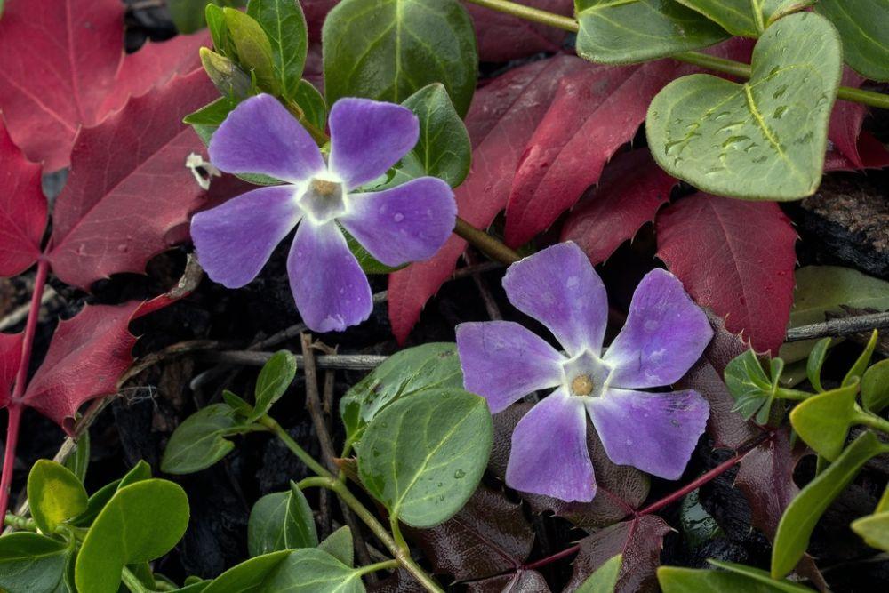 Bodembedekkers in de tuin nuttig en mooi