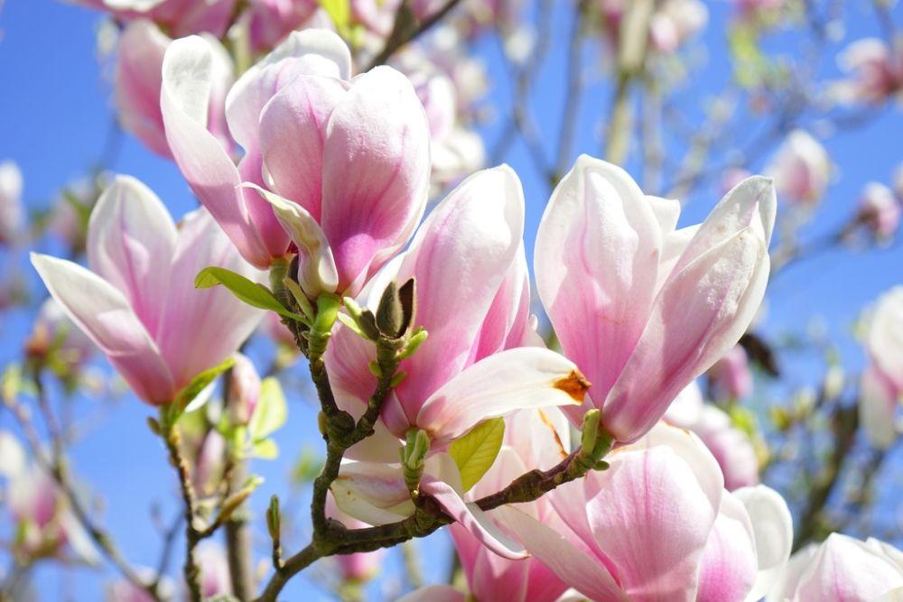 De magnolia: een handleiding
