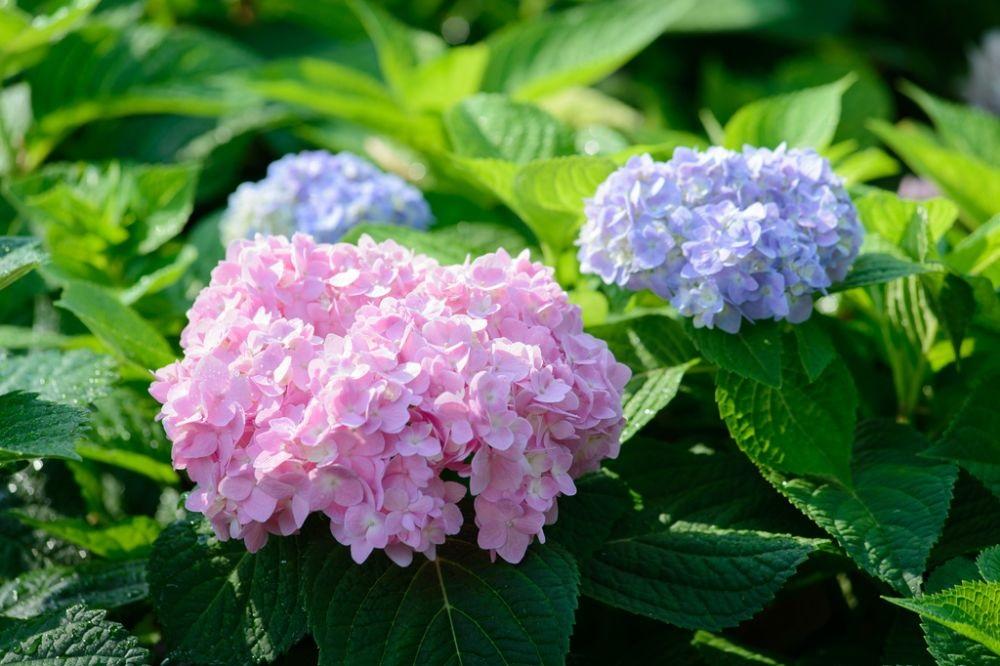 Hortensia's planten en verzorgen