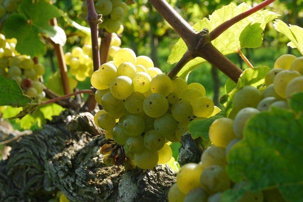 Verrassende wijnkeuze: ga voor Riesling